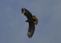 Buzzard over Dannonchapel