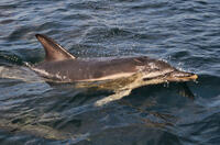 Dolphin in Port Quin Bay