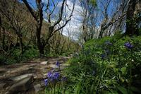 Bluebells in May at Rocky Valley