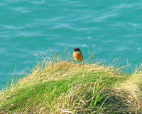Stonechat on the North Cornish coast path